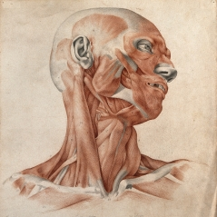 V0008253 Muscles and tendons of the head and neck: écorché figure. Re Credit: Wellcome Library, London. Wellcome Images images@wellcome.ac.uk http://wellcomeimages.org Muscles and tendons of the head and neck: écorché figure. Red chalk and pencil drawing by (or after) A. Durelli, 1837. 02//1837 By: Antonio DurelliPublished: - Copyrighted work available under Creative Commons Attribution only licence CC BY 4.0 http://creativecommons.org/licenses/by/4.0/